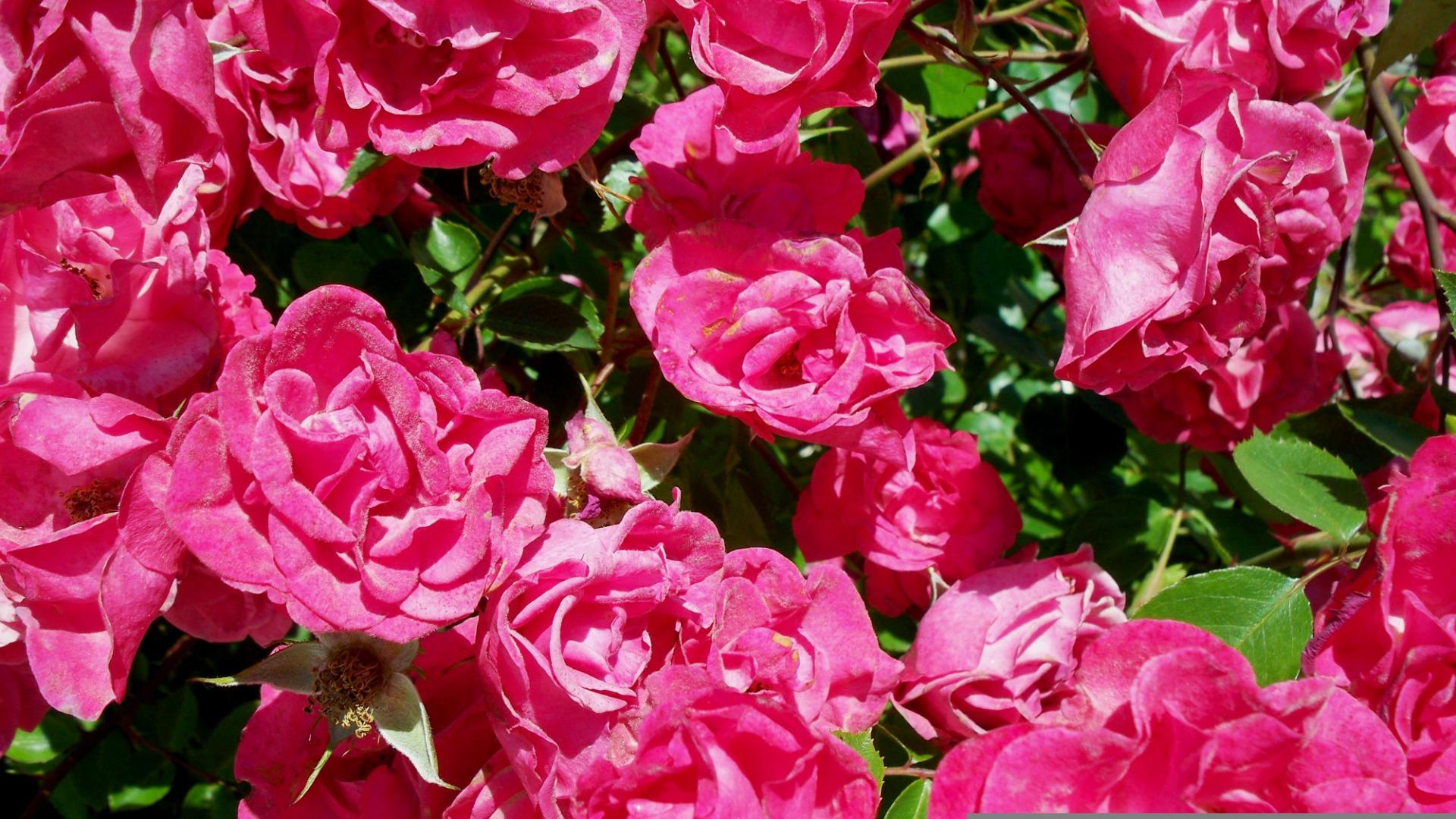 Roses-Elixir-Montale1
