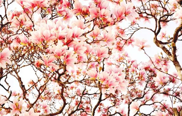 derevya-cvety-magnoliya-vesna