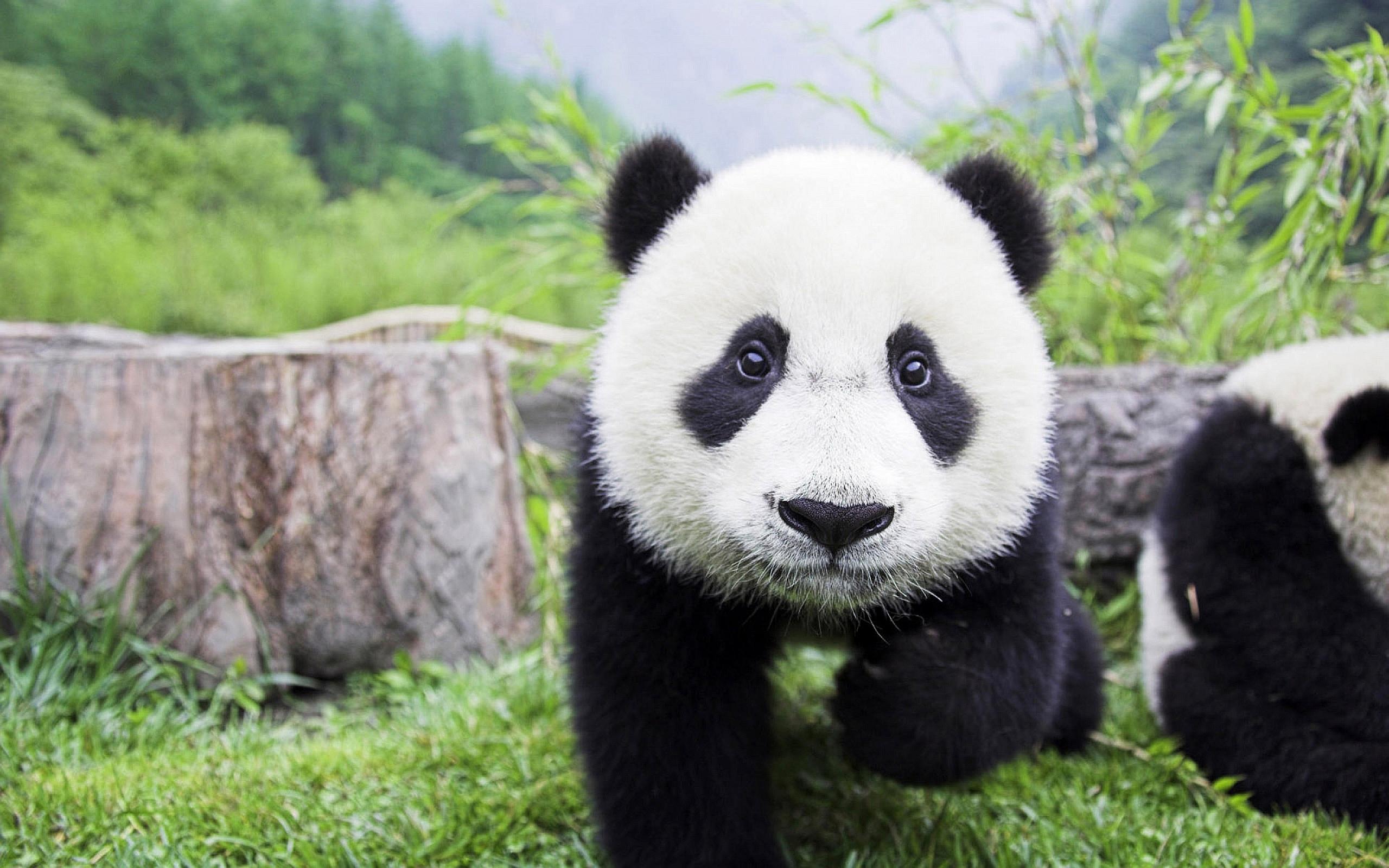 perecinfo-panda-6